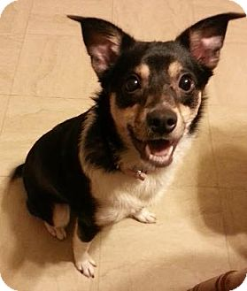 Australian Shepherd/Rat Terrier Mix Dog for adoption in Oak Park, Illinois - Jill