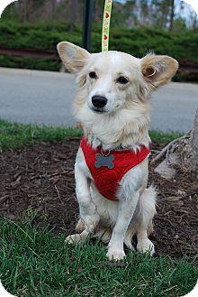Papillon Mix Dog for adoption in Richmond, Virginia - Maxwell