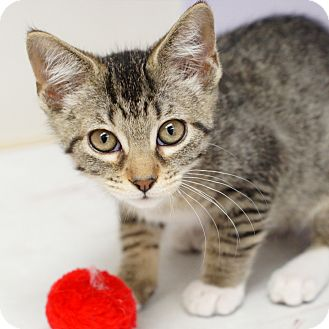 Domestic Shorthair Kitten for adoption in Naperville, Illinois - Lizzy