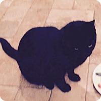 Domestic Shorthair Cat for adoption in Battle Ground, Washington - Cicily