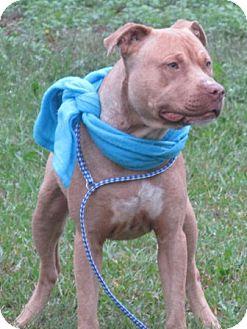 Labrador Retriever/American Staffordshire Terrier Mix Dog for adoption in Lebanon, Maine - Randall-LOCAL