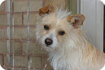 Cairn Terrier Mix Dog for adoption in Denver, Colorado - Jojo