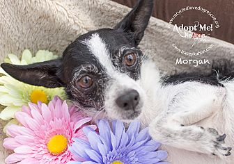 Fox Terrier (Wirehaired)/Jack Russell Terrier Mix Dog for adoption in Inland Empire, California - MORGAN