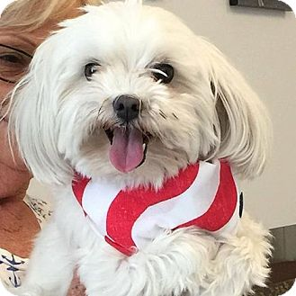 Maltese Dog for adoption in Corona, California - Mr. Charlie, Maltese Beauty