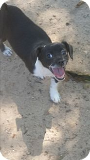 Pekingese/Chihuahua Mix Puppy for adoption in Pikeville, Maryland - Harley