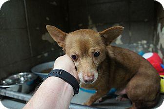 Chihuahua Mix Dog for adoption in Henderson, North Carolina - Max