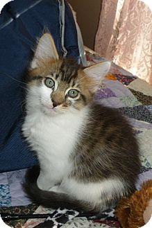 Domestic Mediumhair Kitten for adoption in Myrtle Beach, South Carolina - Timber