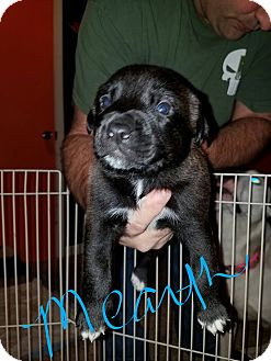 Labrador Retriever/Hound (Unknown Type) Mix Puppy for adoption in Overland Park, Kansas - Mearth