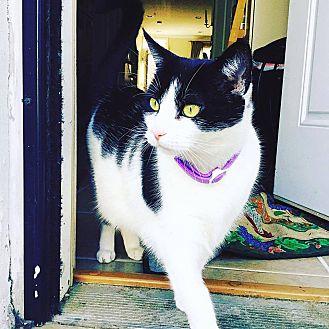 Domestic Shorthair Cat for adoption in Horsham, Pennsylvania - Kitty