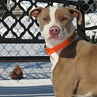 American Pit Bull Terrier Mix Dog for adoption in Windsor, Virginia - Yoshi