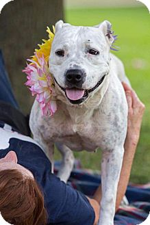 American Pit Bull Terrier/Boxer Mix Dog for adoption in Flint, Michigan - Myia