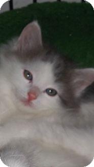 Ragdoll Kitten for adoption in temecula, California - snowman