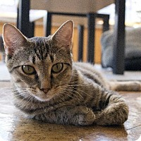 Abyssinian Cat for adoption in St. Louis, Missouri - Jem