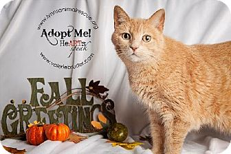 Domestic Shorthair Cat for adoption in Marlton, New Jersey - April