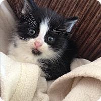 Adopt A Pet :: Tiny Tim - Montreal, QC