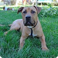 Adopt A Pet :: Taz - Denver, CO