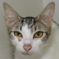 Adopt A Pet :: Jade - Austin, TX