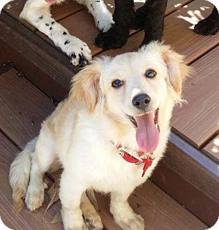 Pomeranian/Terrier (Unknown Type, Small) Mix Puppy for adoption in El Segundo, California - Fox