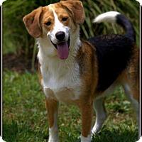 Beagle Mix Dog for adoption in Dixon, Kentucky - Bagel