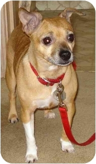 Chihuahua/Rat Terrier Mix Dog for adoption in Sheboygan, Wisconsin - Baby