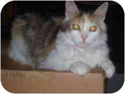 Domestic Longhair Cat for adoption in Hamburg, New York - Amanda