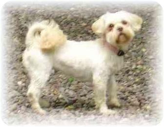 Shih Tzu Dog for adoption in Wyoming, Minnesota - Lacey