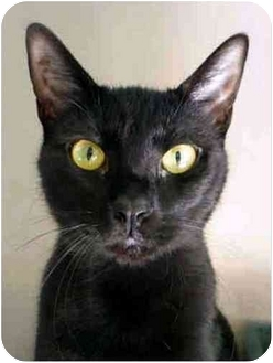 Domestic Shorthair Cat for adoption in San Clemente, California - JANE