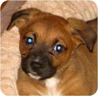 Boxer/German Shepherd Dog Mix Puppy for adoption in Chicago, Illinois - Kitty*ADOPTED!*