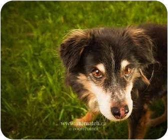 Sheltie, Shetland Sheepdog Mix Dog for adoption in Ile-Perrot, Quebec - DINO