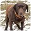 Photo 2 - Labrador Retriever Dog for adoption in Salem, Massachusetts - Jonathon