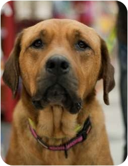 Tosa Inu/Mastiff Mix Dog for adoption in Long Beach, New York - Emma