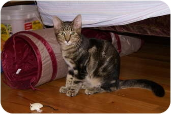 Domestic Shorthair Cat for adoption in Portland, Maine - Mica