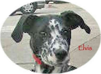 Dalmatian Puppy for adoption in Mandeville Canyon, California - Elvis