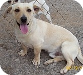 Dachshund/Chihuahua Mix Dog for adoption in Silver City, New Mexico - Admiral