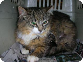 Norwegian Forest Cat Kitten for adoption in Pittstown, New Jersey - Bambi