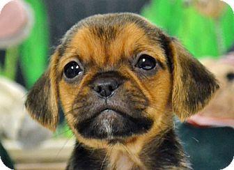 Pug/Terrier (Unknown Type, Medium) Mix Puppy for adoption in Searcy, Arkansas - Captin