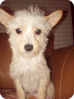 Chinese Crested/Terrier (Unknown Type, Small) Mix Dog for adoption in Oceanside, California - Bordeaux