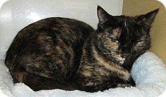 Domestic Shorthair Cat for adoption in Pueblo West, Colorado - Moon