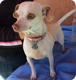 Chihuahua Mix Dog for adoption in North Hollywood, California - Jenny