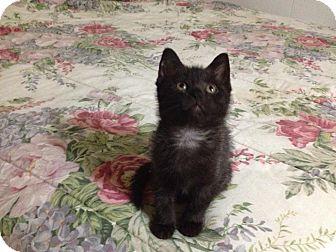 Domestic Shorthair Kitten for adoption in Kalamazoo, Michigan - Shadow