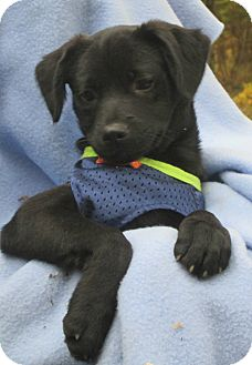 Chihuahua Mix Puppy for adoption in Foster, Rhode Island - Lance...in RI!