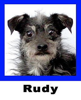 Schnauzer (Miniature)/Chihuahua Mix Dog for adoption in Plano, Texas - Rudy