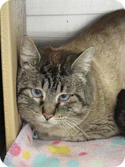 Siamese Cat for adoption in Pueblo West, Colorado - Toby
