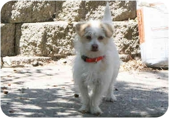 Maltese/Parson Russell Terrier Mix Puppy for adoption in Concord, California - Scruff McDuff