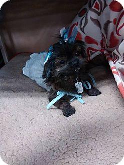 Yorkie, Yorkshire Terrier/Shih Tzu Mix Dog for adoption in Sheridan, Oregon - Princess
