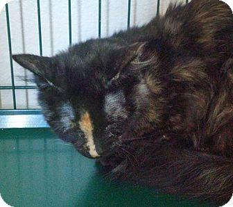 Domestic Mediumhair Cat for adoption in Divide, Colorado - Latte