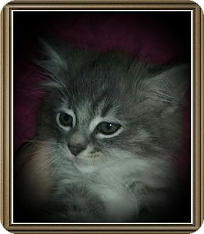 Domestic Longhair Kitten for adoption in Richmond, California - Tyrion