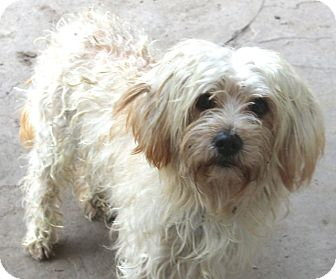 Lhasa Apso/Poodle (Miniature) Mix Dog for adoption in Norwalk, Connecticut - Carlton