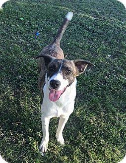 Labrador Retriever/Pointer Mix Dog for adoption in Boston, Massachusetts - Dillion