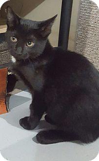 Domestic Shorthair Kitten for adoption in Port Huron, Michigan - CoCo